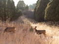 "Sunset on Two Deer in a field, IX <a href=""https://www.etsy.com/listing/204024071/garden-of-the-gods-ix-sunset-on-two-deer?ref=shop_home_active_5"" rel=""nofollow"" target=""_blank"">Buy Print</a>"